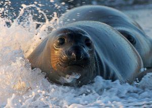 Captured sea lion in the splashing water.