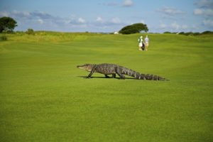 An alligator crossing the golf course and a couple standing nearby.