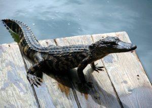 A baby aligator.